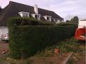 trimming conifer hedge